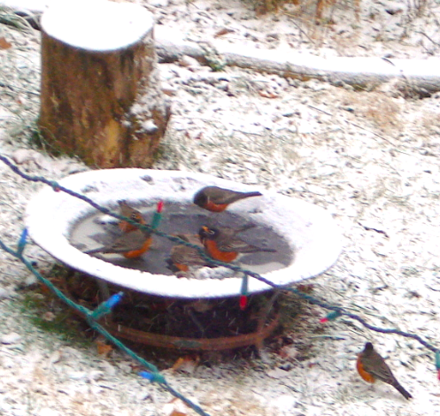 birds drinking in snow7